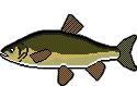 Fischlexikon Fischart Aland