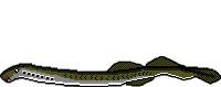 Fischlexikon Fischart Bachneunauge