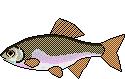AiD Angelportal Fischlexikon Fischart Bitterling