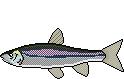 Fischlexikon Fischart Blaubandbärbling