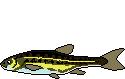 AiD Angelportal Fischlexikon Fischart Elritze