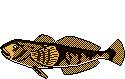 Fischlexikon Fischart Groppe