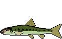 Fischart Gründling Schonzeiten