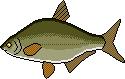 Fischlexikon Fischart Güster