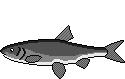 AiD Angelportal Fischlexikon Fischart Hasel