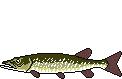 Fischlexikon Fischart Hecht