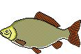 Fischlexikon Fischart Karausche