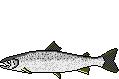 AiD Angelportal Fischlexikon Fischart Lachs