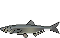 Fischlexikon Fischart Laube