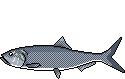 Fischlexikon Fischart Maifisch