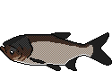 Fischlexikon Fischart Marmorkarpfen