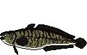 Fischart Quappe Schonzeiten