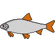 AiD Angelportal Fischlexikon Fischart Rotauge