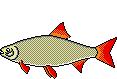 Fischart Rotfeder Schonzeiten
