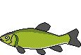 Fischart Schleie Schonzeiten