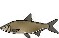 Fischart Zährte Schonzeiten
