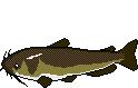 AiD Angelportal Fischlexikon Fischart Zwergwels
