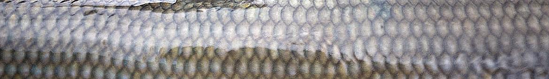 Foto AiD Angelportal - Kategorieseite Fischlexikon Fischart Äsche