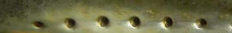 Foto AiD Angelportal - Kategorieseite Fischlexikon Fischart Bachneunauge