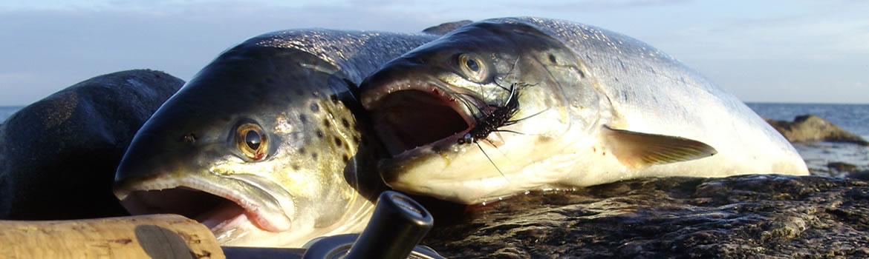 Foto AiD Angelportal - Kategorieseite BIG ONE-Hitliste - Fischart Meerforelle