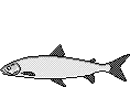 Fischart Maräne Schonzeiten