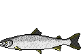 Fischart Lachs Schonzeiten