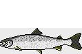 Fischart Lachs BIG ONE-Hitliste