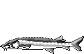 Fischart Stör Schonzeiten