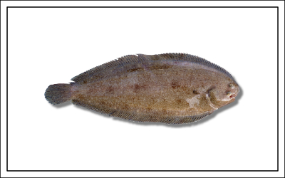 Fischart Seezunge - Meerfisch - Fischereibestimmungen Frankreich 2019