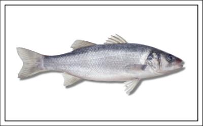 Fischart Wolfsbarsch - Meerfisch - Fischereibestimmungen Frankreich 2019